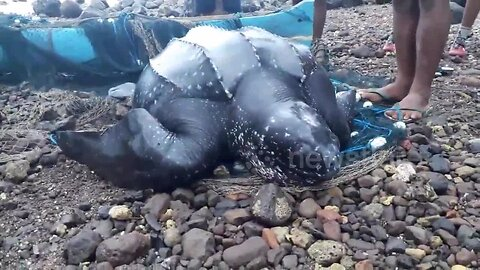 Indonesian villagers rescue turtle trapped in fishing net