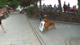 Cute dog trained to advertise a burger bar - Video
