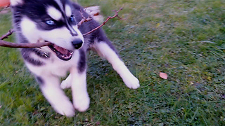 Puppy having a blast playing with a twig