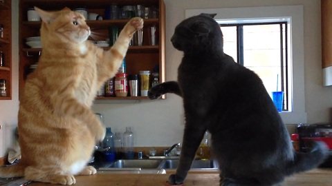 Adorable kitten slap fight - who's the winner?