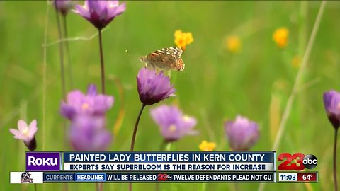 Painted Lady Butterflies in Kern County