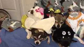 Costumed Chihuahuas 'Sing' in Imperfect Harmony