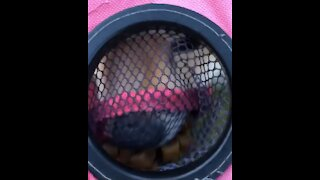 Pomeranian can't figure out how to reach treats inside net cupholder