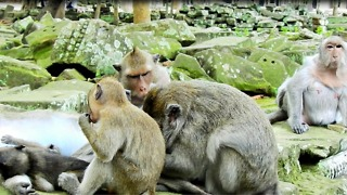 Monkey Family Grooming Near Temple - Video