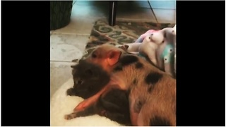 Mini pig cuddles with two-week-old kitten - Video