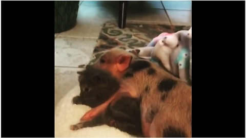 Mini pig cuddles with two-week-old kitten