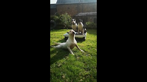 Bull Terrier puppies totally embarrassed by mom's awkward actions