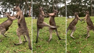Cute kangaroos are caught in playful squabble - Video