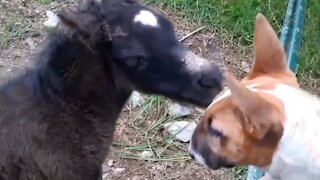 Bull terrier meets foal for the first time, instant friendship ensues