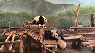 Funny Panda Bears Playing In A Zoo Exhibit