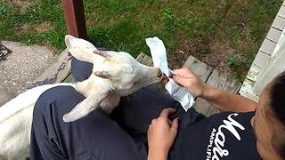 Rescue Goat Edgar Winter Loves Eating Ice Cream And Gets Intense Brain Freeze  - Video