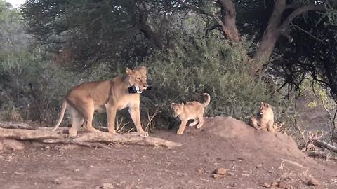 Lioness snatches photographer's camera