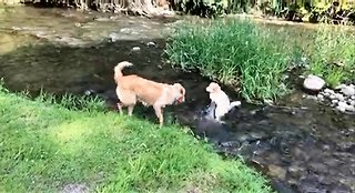 Puppies play together in water with pure joy