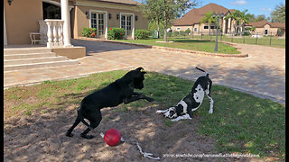 Pouncing and Bouncing Great Dane and 5 Month Old Puppy  - Video