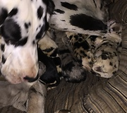 Newly Born Great Danes