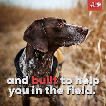 German Shorthaired Pointers Everything You Need To Know About The Breed