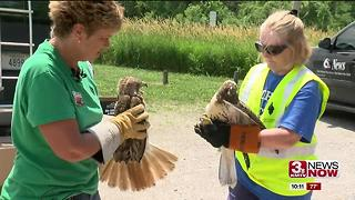 Injured birds release - Video