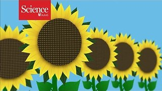 Why sunflowers follow the sun - Video