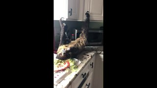 Adorable footage of pet sloth lying upside down eating salad - Video