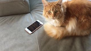 Cat loves to play games on owner's smartphone - Video