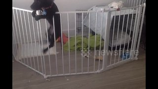 Dog performs expert jailbreak from playpen - Video