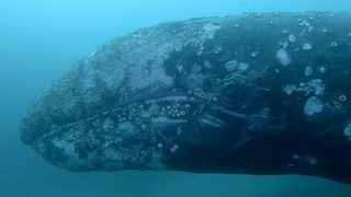 Jaw-dropping footage shows huge whale swim scarily close to scuba divers - Video