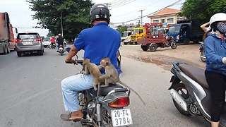 Two Monkeys Hitch A Ride To Town On The Back Of A Motorcycle