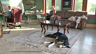 Happy Great Danes Relax in Art Studio with Wind River Canyon Painting Alfred Bierstadt Style  - Video