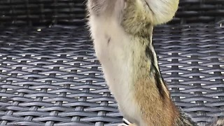 Wild Chipmunk Adorably Stuffs Cheeks With Peanuts