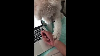 Needy puppy repeatedly forces owner to give scratches