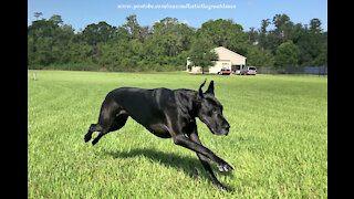 Great Danes perform zoomies and surprisingly high speeds