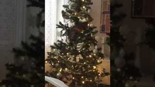 Cat to Spend Holidays in Family Christmas Tree - Video