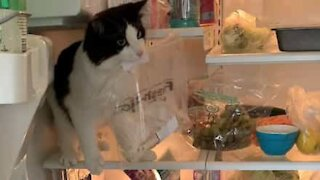 Cat steals owner's lunch from fridge