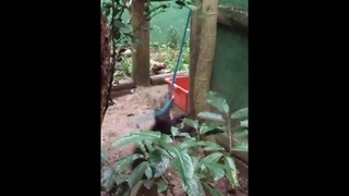 Funny young tayra thinks he's a dog - Video