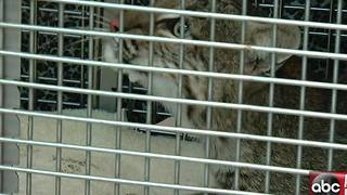 Florida Bobcat hit by car now receiving surgery at Big Cat Rescue - Video