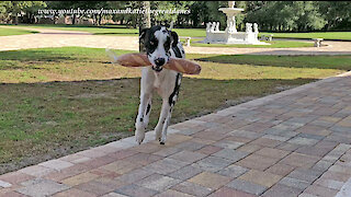 Excited Great Danes Can't Wait To Carry In Chicken and French Bread
