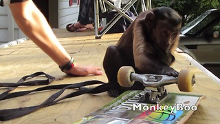 Monkey goes skateboarding with his owner - Video