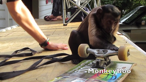 Monkey goes skateboarding with his owner