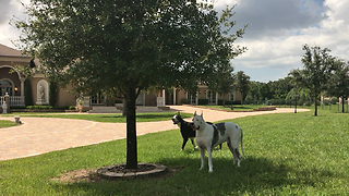 Great Danes Prefer Squirrel Watching to Solar Eclipse in Tampa