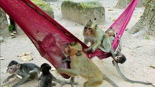Monkey Like Hammock Of Human