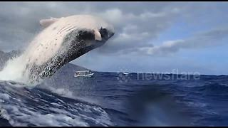 Spectacular clip shows whale breach right next to snorkelers - Video