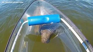 Manatee rolls over like dog as it approaches see-through canoe - Video