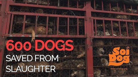 A truck intercepted with 600 Dogs that were destined for slaughter