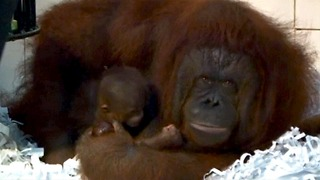 Newborn Baby Orangutan - Video