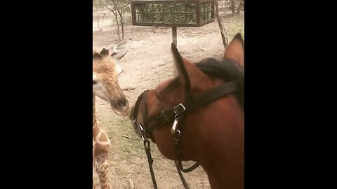 Heartwarming Interaction Between Horse And Baby Giraffe