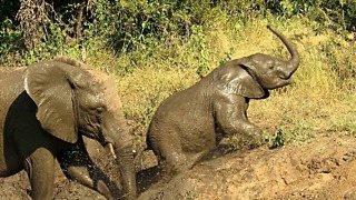 Tenacious Baby Elephant Shows Determination To Escape Muddy Riverbank - Video