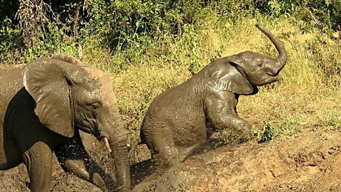 Tenacious Baby Elephant Shows Determination To Escape Muddy Riverbank