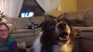 Border Collie obsessed with watching TV - Video