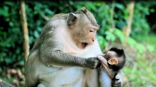 Mom Monkey Weaning Baby At Angkor