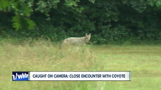 Coyote interrupts Ch7 interview - Video